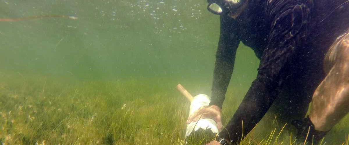 Seagrass in the Laguna Madre
