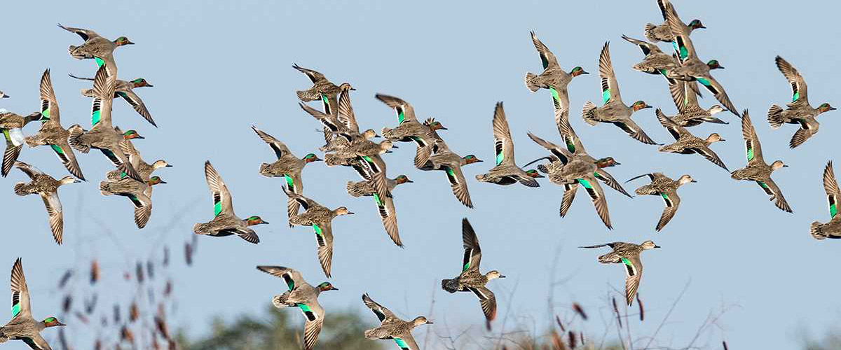 DU Waterfowl Quiz