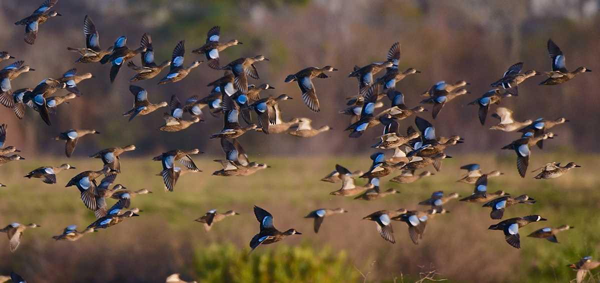 Why Waterfowl Migrate