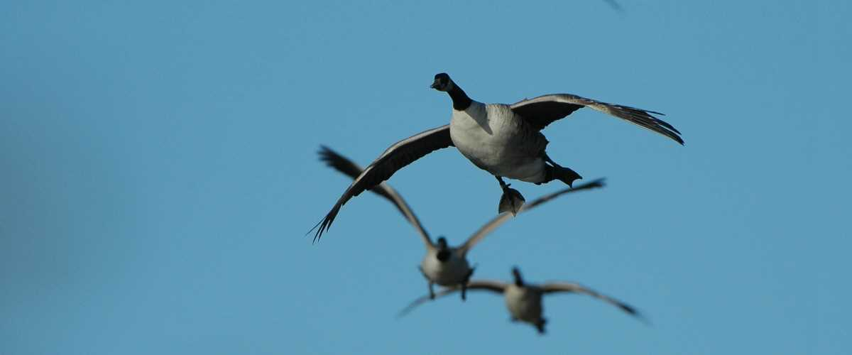 Early Goose Action