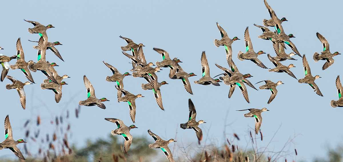 Tips for Early Teal