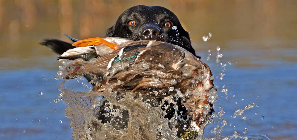 Duck Dog Breeds