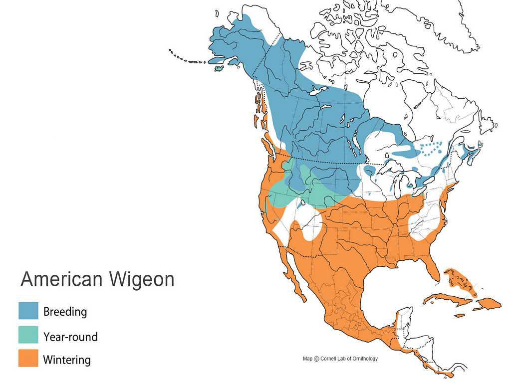 Wigeon Distribution