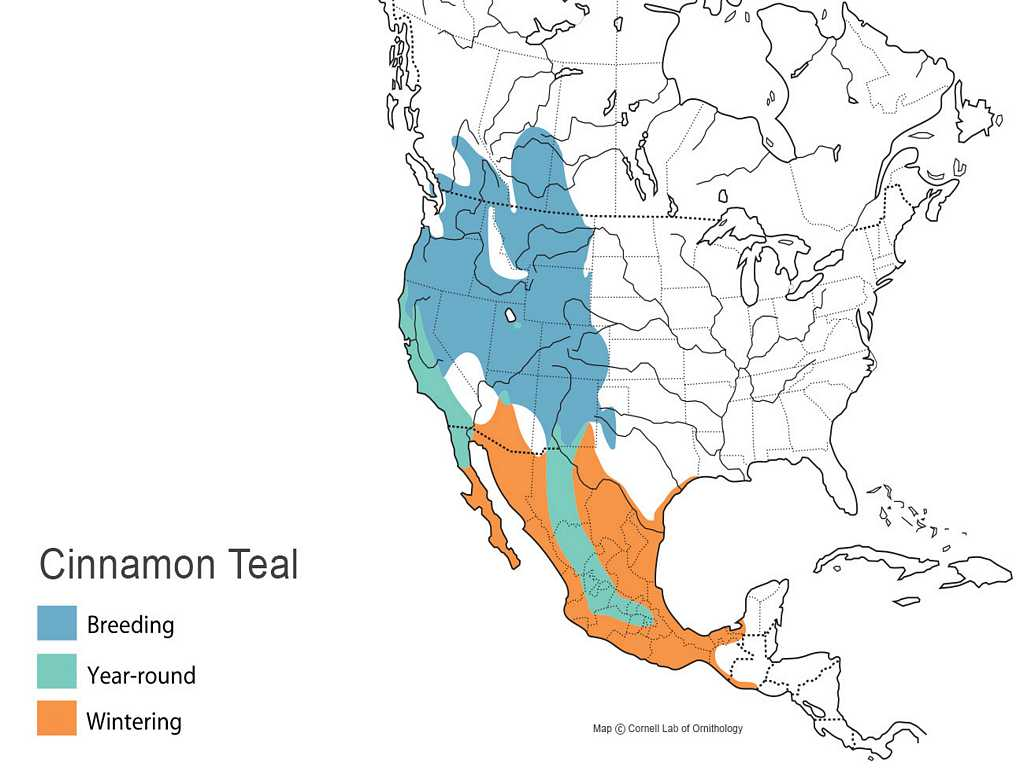 Cinnamon Teal Distribution