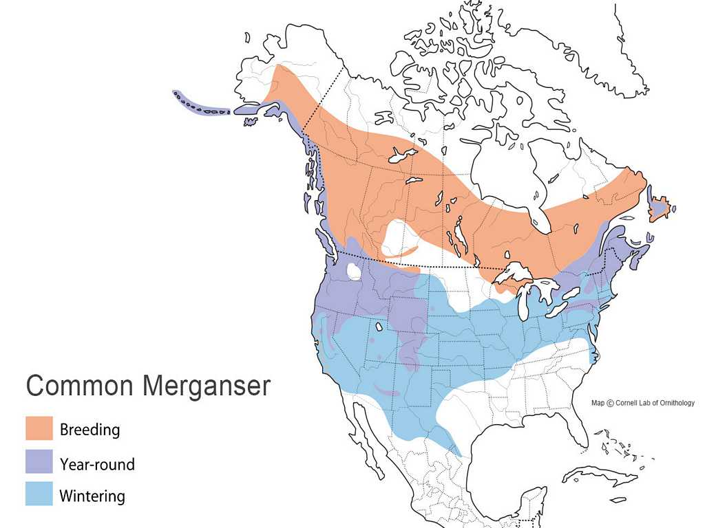 Common Merganser Distribution