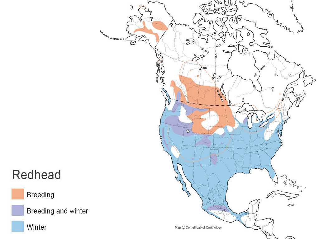 Redhead Waterfowl ID - Map of redheads in the us