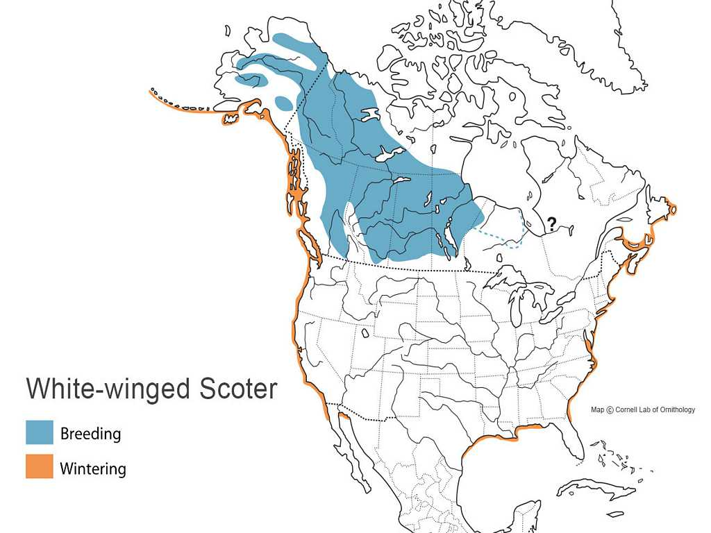White Winged Scoter Distribution