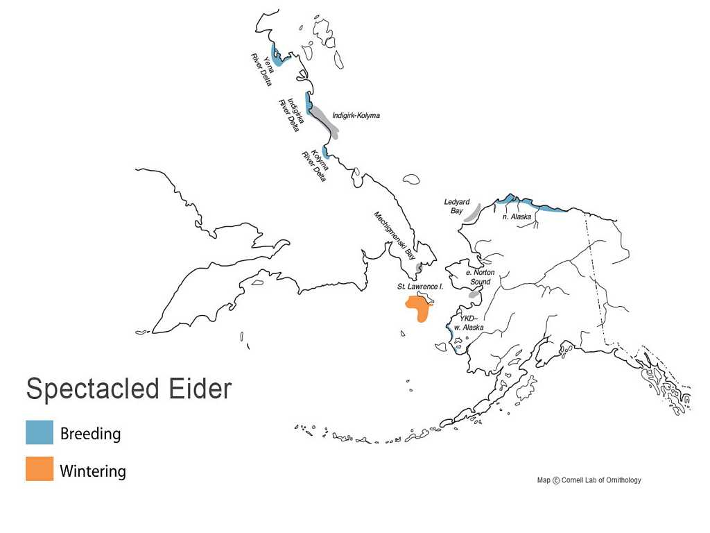 Spectacled Eider Distribution