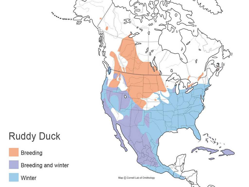 Ruddy Duck Distribution